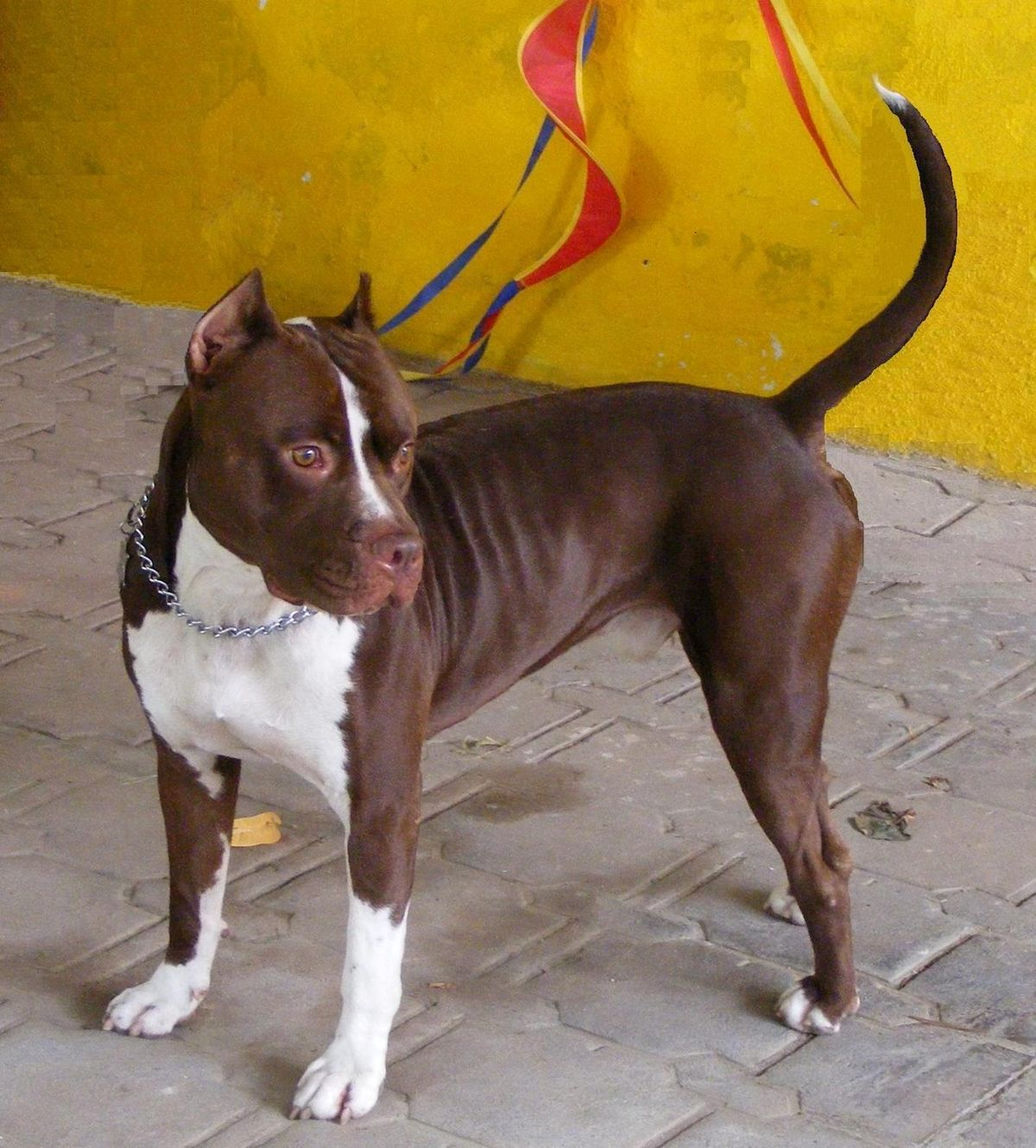 Pit_Bull_Red_Nose-Tyson