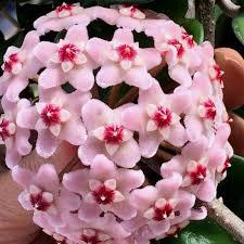 Resultado de imagem para planta 8. Flor-de-cera