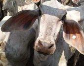 Líder de bando que furtava gado no sul do TO é preso em Uruaçu