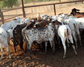 Fazendeiro é preso após comprar por R$ 80 mil quase 30 cabeças de gado furtado